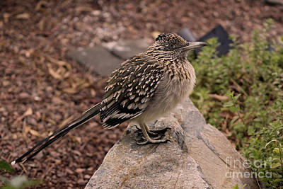 Photograph - Frozen Road Runner On Rock by Colleen Cornelius