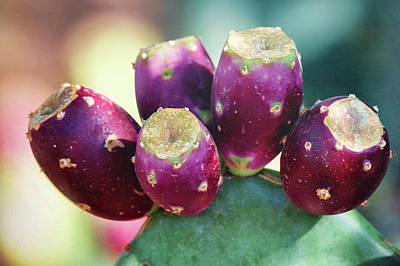 Photograph - Fruit Of The Prickly Pear  by Saija Lehtonen