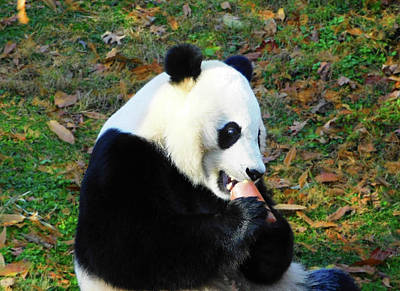 Photograph - Fruit Popsicle For Bei Bei The Giant Panda by Emmy Marie Vickers