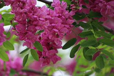 Photograph - Fuchsia Flowers On Locust Tree by Colleen Cornelius