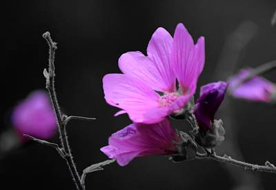 Photograph - Fuschia Dream by Lynda Anne Williams