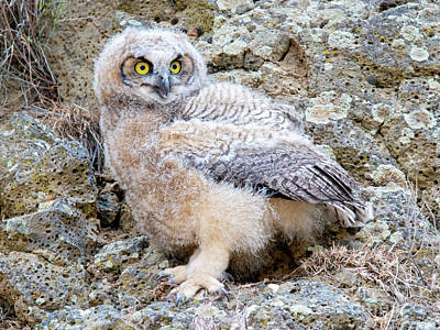 Photograph - Fuzzy Owlet by Mike Dawson