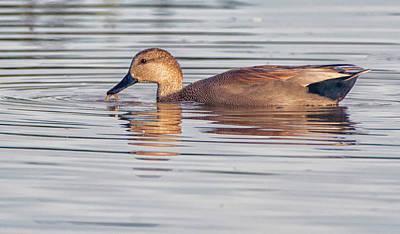 Photograph - Gadwall Duck 1704-112018-1cr by Tam Ryan