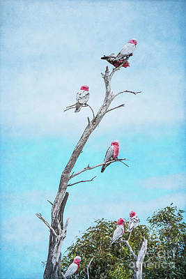 Photograph - Galahs On The Lookout by Elaine Teague