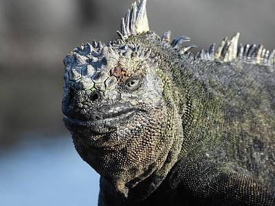 Animals Royalty-Free and Rights-Managed Images - Galapagos Fernandina Island Marine Iguana by Jennifer Wheatley Wolf