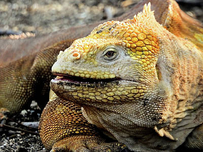 Animals Royalty-Free and Rights-Managed Images - Galapagos Land Iguana by Jennifer Wheatley Wolf