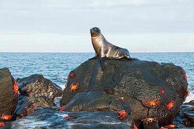 Galapagos Photograph - Galapagos Sea Lion Zalophus Wollebaeki by Tui De Roy/ Minden Pictures