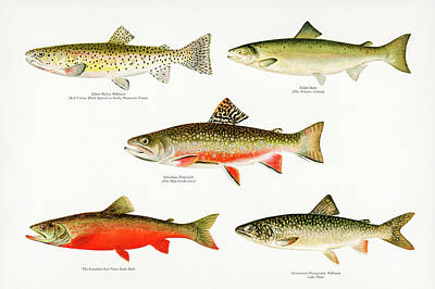 Animals Drawings - Game Fish of America by David Letts