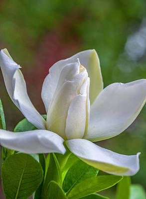 Photograph - Garden Gardenia by Keith Smith