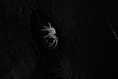 Photograph - Garden Orb Weaver In Black And White by Karen Silvestri