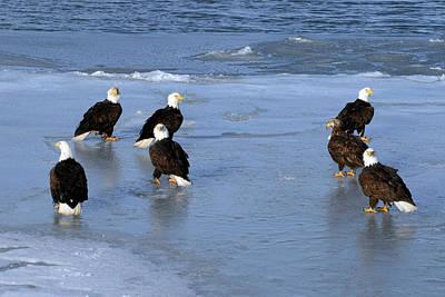 Eagle Photograph - Gathering Of Bald Eagles Haliaeetus by Stephen J Krasemann