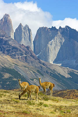Photograph - Gaunacos, Torres Del Paine National by Eastcott Momatiuk