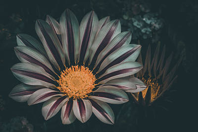 Photograph - Gazania Gaze by Kevin Schwalbe