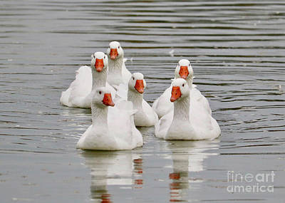 Photograph - Geese Greeting by Carol Groenen