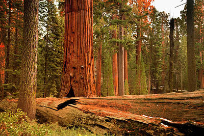 Balance Photograph - General Grant Grove Trees by Pgiam