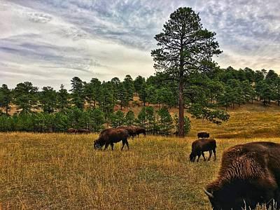 Photograph - Genesee Bison Herd by Dan Miller