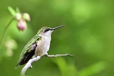 Photograph - Gentle Hummingbird by Christina Rollo