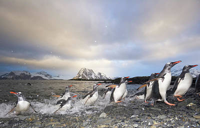 Photograph - Gentoo Penguins Arrive On Land by Eastcott Momatiuk