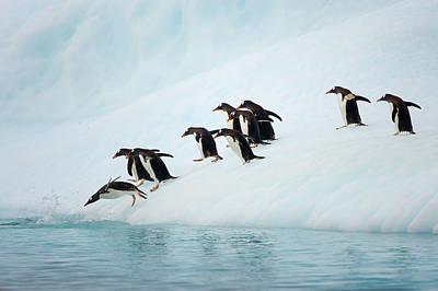 Photograph - Gentoo Penguins On Iceberg, Antarctic by Eastcott Momatiuk