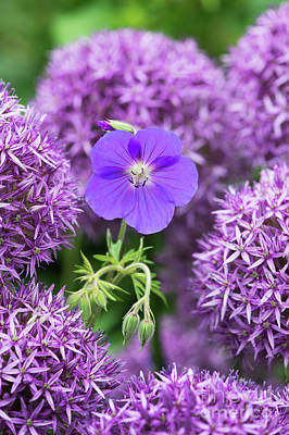 Photograph - Geranium Orion Flower Amongst Alliums by Tim Gainey