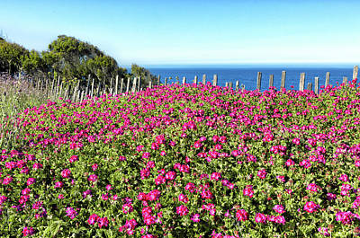 Photograph - Geraniums By The Sea by Kathleen Bishop