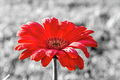 Photograph - Gerbera Daisy Color Splash by Dawn Richards
