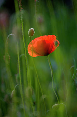 Photograph - Germany, Baden Wurttemberg, Poppy by Westend61