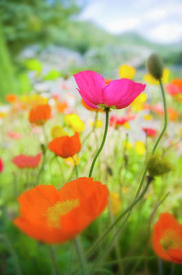 Photograph - Germany, Iceland Poppy Papaver by Westend61
