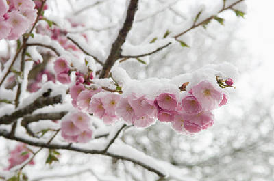 Germany, Munich, Snow Covered Cherry Art Print by Westend61