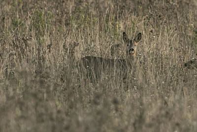 Photograph - Ghosts In The Grass Roe Deer by Wendy Cooper