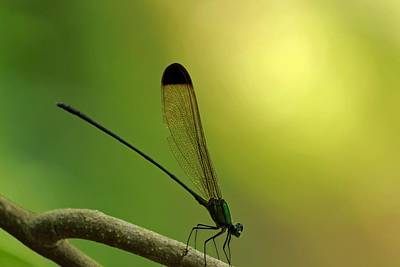 Painting - Giant Dragonfly Close Up by Celestial Images