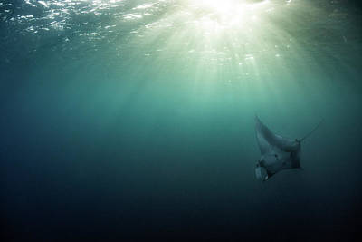 Photograph - Giant Manta Ray by Nicole Young