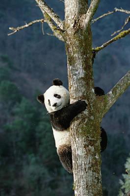 Photograph - Giant Panda Ailuropoda Melanoleuca by Konrad Wothe/ Minden Pictures