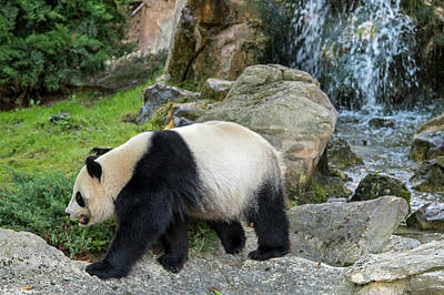 Photograph - Giant Panda by Arterra Picture Library