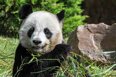 Photograph - Giant Panda Eating Bamboo by Arterra Picture Library