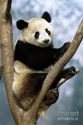 Photograph - Giant Panda In Wolong Valley by Pete Oxford