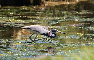 Photograph - Giant Stepping Tricolored Heron by Karen Silvestri