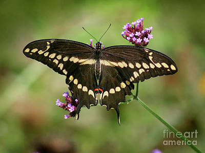 Photograph - Giant Swallowtail Butterfly Dorsal View by Karen Adams