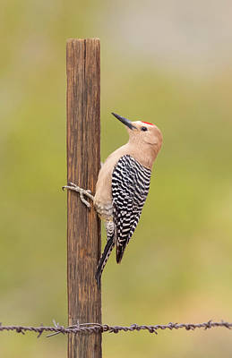 Photograph - Gila Woodpecker On The Fence by Loree Johnson