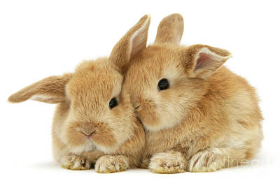 Photograph - Ginger Baby Bunnies Snuggling by Warren Photographic