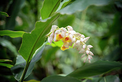 Kristian Gallagher Royalty-Free and Rights-Managed Images - Ginger Blossoms by Kristian Gallagher