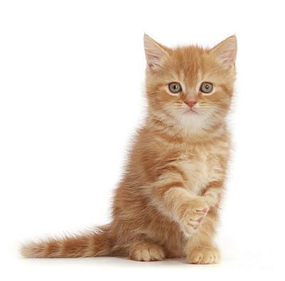 Photograph - Ginger Kitten Pawshake by Warren Photographic