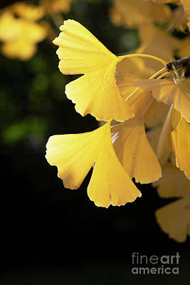 Photograph - Ginkgo Biloba Tremonia Autumn Leaves by Tim Gainey