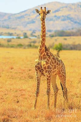 Photograph - Giraffe African Safari by Benny Marty