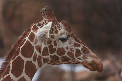 Photograph - Giraffe  by Brian Cross
