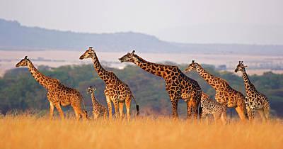 Photograph - Giraffe Family by Wldavies
