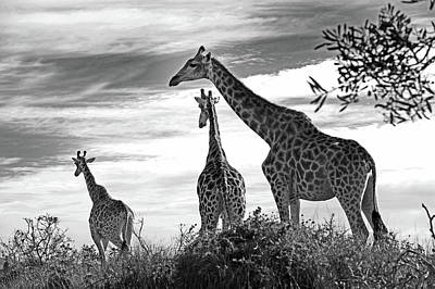 Photograph - Giraffe by Images Unlimited
