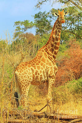 Photograph - Giraffe Kruger Np by Benny Marty