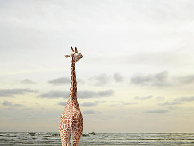 Giraffe Looking Out To Sea Art Print by Richard Newstead