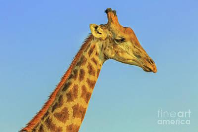 Photograph - Giraffe Portrait Blue Sky by Benny Marty